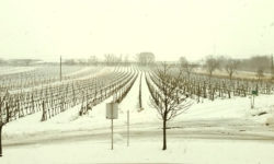 schnee im weinberg