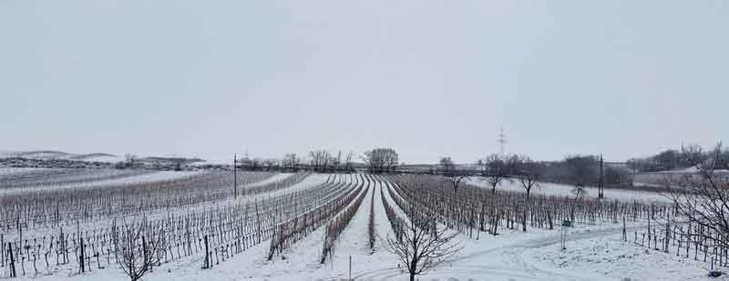 weinberg im winter